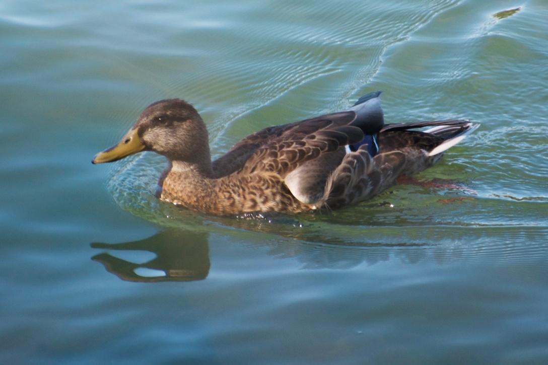 Duck on Water.jpg